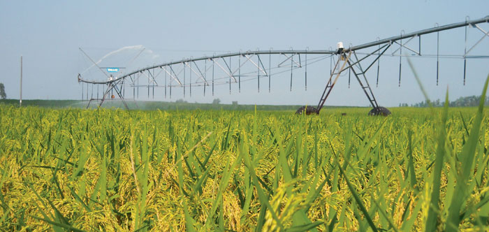 Irrigating Rice with Center Pivots